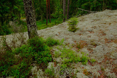 Very thin soil and pine growth means many large open areas, where lichens and mosses flourish.