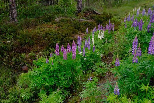 The roads and open areas of Sweden were in full lupin blooming season, so the roadways were a mosaic of green, purple, pink and white, which splashes of yellow mustard flower tossed in.